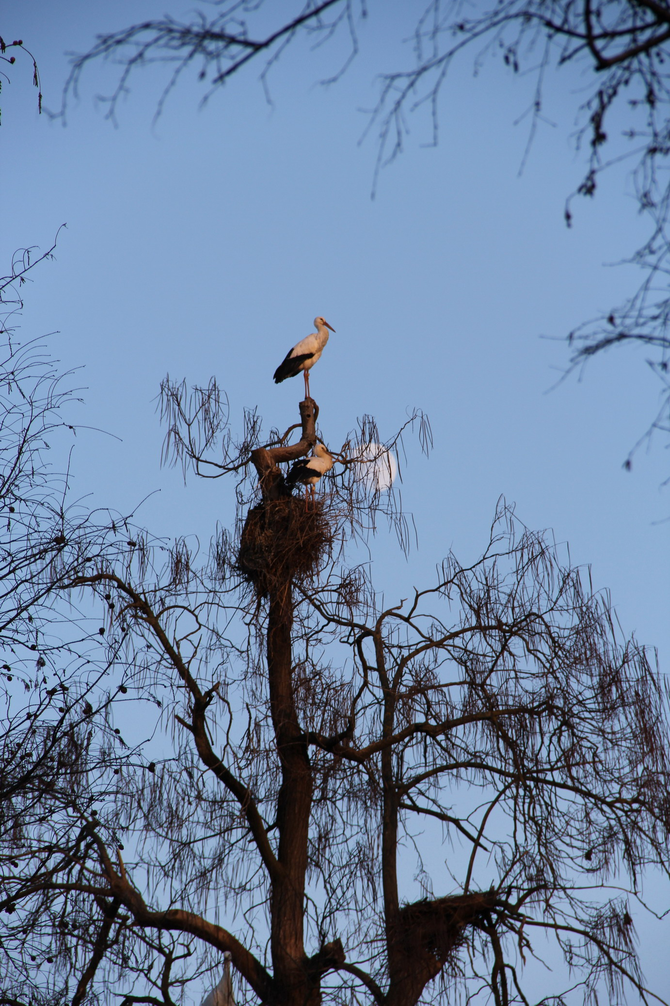 storch2a